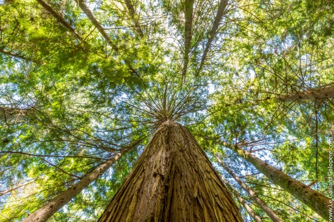 In the shade of tall cedars
