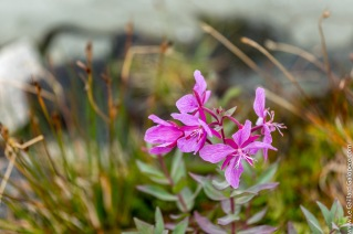 Perseverant fireweed