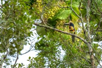 Palenque Toucan