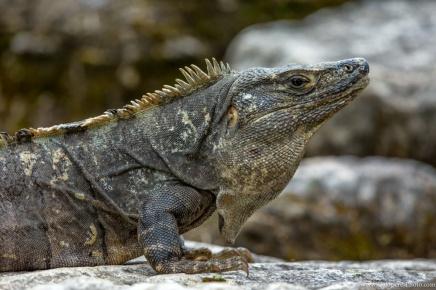 Palenque Iguana