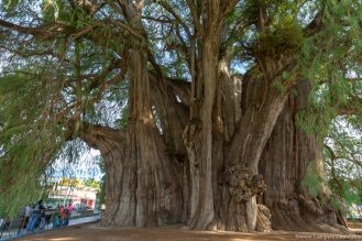 The Tule Tree, in Santa Maria de Tule, Mexico.