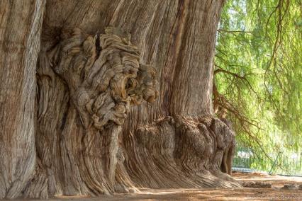 Cypress veins